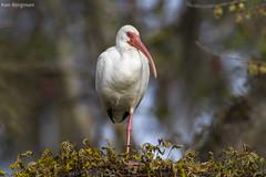 balancing act (wandering tattler) Tags: white bird animal river florida wildlife ibis aquatic whiteibis wader 2015