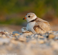 Feel at home (v4vodka) Tags: nature animal wildlife chick birdwatching plover pipingplover shorebird charadriusmelodus pipingploverchick birdbirding sieweczkablada