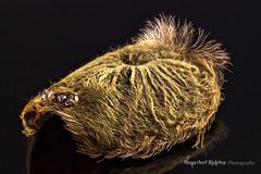 P cambridgei carapace 13 stack (The Bearded Spider) Tags: macro hair spider eyes arachnid tarantula molt carapace focusstack photostack cambridgei psalmopoeus psalmopoeuscambridgei