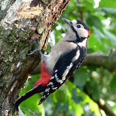 Great Spotted Woodpecker (Peanut1371) Tags: red white black bird woodpecker spotted greatspottedwoodpecker gardenbird woodlandbird nationalgeographicwildlife