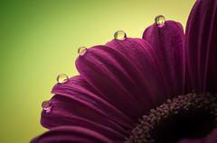 Queen (Psztor Andrs) Tags: light flower macro green nature water drops nikon hungary gerbera andrs psztor d5100