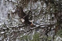 BLM Winter Bucket List #6: Lake Coeur dAlene, Idaho, for the Annual Eagle Count (mypubliclands) Tags: lake birds eagle wildlife science idaho recreation birdwatching eagles blm bureauoflandmanagement getoutside getoutdoors mypubliclands seeblm blmproud blmidaho