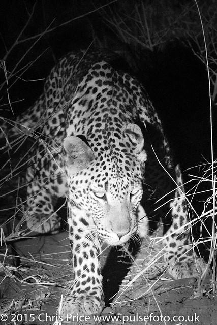 Leopard, Madikwe Game Reserve
