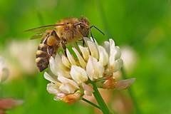 A honey bee seeking nectar and pollen on a white clover. (Bienenwabe) Tags: flower macro bee pollen fabaceae clover honeybee biene apis trifolium whiteclover trifoliumrepens flowermacro apiaceae apismellifera beemacro weisklee