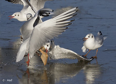 More Mealtime Mayhem (aerial2) Tags: ice gulls highspeed coldsnap mywinter