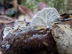 Campanella sp. (VanessaRyan) Tags: nature australia naturalbridge fungus queensland campanella springbrooknationalpark marasmiaceae arfp geo:country=australia arffungi qrfp whitearffungi subtropicalarf campanellasp taxonomy:binomial=campanellasp gilledarffungi basidiomycetesarffungi geo:lat=28230772 geo:long=153242399