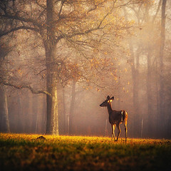 where peace finds me (slight clutter) Tags: morning autumn sunlight mist tree fall nature animal fog sunrise dawn warm wildlife peaceful tranquility deer silence tones