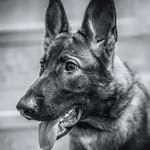 Saaga-koira thumbnail
