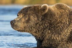 Coastal Brown Bear (daveinhst) Tags: bear park sunset brown lake alaska dinner river nikon wildlife september coastal national grizzly spawn predator brooks sockeye 814 naknek katmai slamon 093014