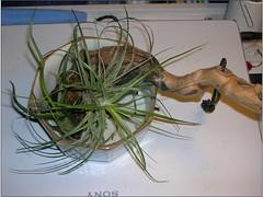 Cactus-Tillandsia-7 (cuirung) Tags: jade gollum haworthia airplant crassula felina faucaria perforata tigerjaw cactustillandsia bulbbolsa