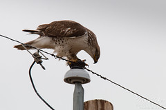 Fresh from a kill, a Ferruginous Hawk cleans its talons