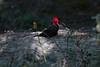 Male Magellanic Woodpecker at Tierra del Fuego NP IMG_9915 (grebberg) Tags: male bird argentina tierradelfuego nationalpark woodpecker january fugl 2015 campephilus tierradelfuegonationalpark campephilusmagellanicus magellanicwoodpecker