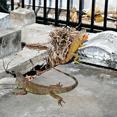 Key West (Florida) Trip, November 0178Ri sq (edgarandron - Busy!) Tags: cemeteries cemetery grave keys florida graves lizard iguana keywest lizards floridakeys keywestcemetery