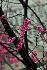 - Winter Blossoms (sunflowers&bubbletea) Tags: pink flowers winter black tree branches blossoms taiwan sakura cherryblossoms       flowerbuds    nikond90  newtaipeicity sunflowersbubbletea
