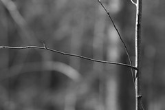 Sapling and branch in light (Jonathan Carr) Tags: light abstract monochrome rural landscape branch northeast sapling abstaction