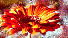spring's scent_gerbera (mare_maris (very slow)) Tags: shadow red orange sun plant flower macro art love nature floral colors beautiful beauty closeup photoshop manipulated effects march leaf petals spring artwork flora perfume natural blossom gardening vibrant background postcard creative sunny romance fresh explore gerbera firstday wishes vegetation daisy bloom form arrival botany biology tender perfection scent gerber aroma wishing purity wellcome λουλούδια 2015 flowerphotography balconyscene άνοιξη goodspring wonderfulworldofflowers ζέρμπερα nikond5100 maremaris primaverafragranza fraganciadeprimavera