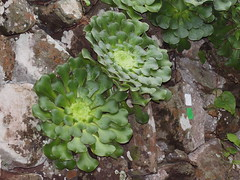 Aeonium canariense (L.) Webb & Berthel. (Peter M Greenwood) Tags: ssp aeonium latifolium canariense aeoniumcanariense