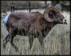 Jerri Restuccio - Bighorn sheep
