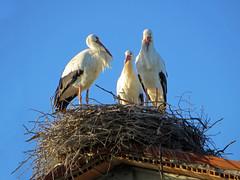 IMG_2547 nest # 35 - the stork trio (pinktigger) Tags: italy bird nature italia trio stork cegonha cigea friuli storch cigogne ooievaar fagagna cicogna oasideiquadris feagne