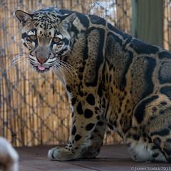 20150222 5DIII Panther Ridge 263 (James Scott S) Tags: wild cats canon scott james big feline dof unitedstates florida conservation s center ridge ii wellington l cheetah fl jaguar panther 70200 f28 ef lr5 5diii