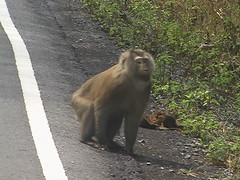 Pigtail Macaque Khao Yai Thailand