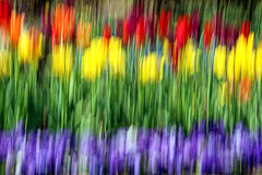 my tulips in a row (LotusMoon Photography) Tags: camera flowers red green nature yellow spring movement colorful purple tulips icm intentional vividcolor intentionalcameramovement