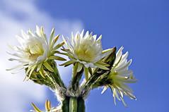 2015-01-25_09-19-13 (J Rutkiewicz) Tags: cactus flower flora kwiaty kaktus