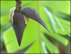 Banana Flower (ursusnow) Tags: brazil flower braslia brasil garden leaf df flor banana jardim jardimbotnico banane folha blatt blte garten distritofederal 2015 konicahexanonar50mmf14 villedemontagne epl2 darktable