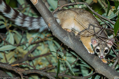 BJ8A7828-Ringtail (Bassariscus astutus) (tfells) Tags: wildlife ringtail mammal arizona madera canyon nature nocturnal flash procyonid bassariscus astutus