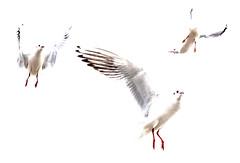 Gulls (catkin314) Tags: blackheadedgulls minimal birds onwhite nature winter