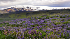 Lupin field in Iceland (flowerikka) Tags: iceland lupinen lupin field blue flower green trees bushes vulcano lava snow glacier sly clouds mountains rock landscape nature