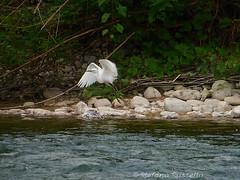 _S058007814 (Rosshox) Tags: naturalphotography natura wildlife action animals animali fujifilm fujifilmxs1 volatili