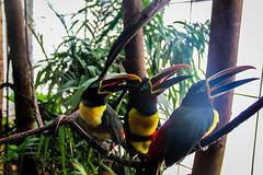 toucans (thompsondphotos) Tags: animals animal birds bird toucan toucansc dallasworldaquarium