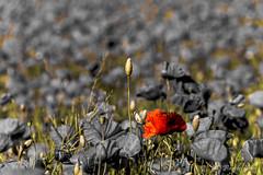 d 610 castelluccio luglio 2016 (primitivart) Tags: castelluccio moltitudine poppie papavero rosso flowers