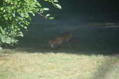 Fox in the Backyard Today (Saline, Michigan) (cseeman) Tags: animals michigan wildlife fox saline backyardanimals michiganfox backyardfox