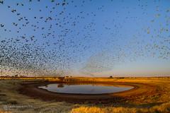 IMG_0257.jpg (Paul Williams www.IronAmmonitePhotography.com) Tags: bird budgerigar summer murmuration dryseason melopsittacusundulatus australia