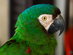Talking Parrot (BarryJansen) Tags: olympus omd em1 mzuiko 1240 pro animal parrot colours travelling curacao eyes
