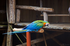 A parrot again (Cloudtail the Snow Leopard) Tags: bird animal scarlet zoo parrot macaw papagei ara tier vogel macao amneville hellroter