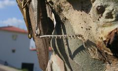 06-070505 Spanien 5 182 (hemingwayfoto) Tags: andalusien baum bein detail eukalyptus europa heuschrecke insekt insektenmacro macro radtour reise rinde schrecke spanien