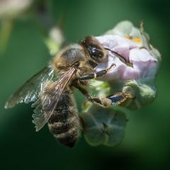 Abeille butineuse (daumy) Tags: nature fleurs jardin vert bee pollen antenne pate insecte verdure ailes abeill nikonflickraward