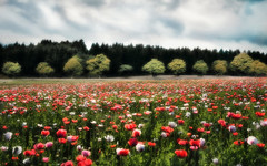 the smell of summer... (Weirena) Tags: flowers summer nature austria landscapes sterreich europe outdoor wallart poppies flowerfields fineartphotography blooming weirena ireneweisz
