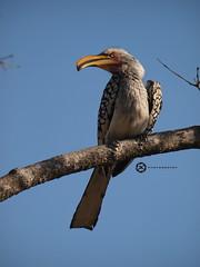 Yellowbilled Hornbill (Jan-Krux Photography) Tags: wild bird animal fauna southafrica wildlife olympus e3 avian krugernationalpark tier vogel mpumalanga frei knp suedafrika yellowbilledhornbill tierwelt tockusflavirostris 50200mm2835
