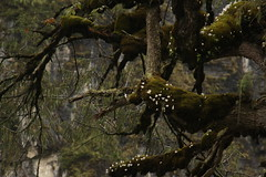 Plieone (2) (siddarth.machado) Tags: northsikkim himalayanflora 3000msl