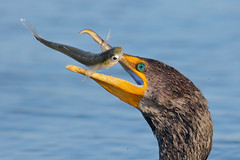 Food (bmse) Tags: canon l f56 salah bolsachica 400mm wingsinmotion 7d2 bmse baazizi doublecrestedcormorantfish