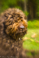 Dogs are better than human beings because they know but do not tell. Emily Dickinson (Sitch2) Tags: dog forest labradoodle brown loyal bestfriend lensbaby composerpro plasticoptic shotwideopen