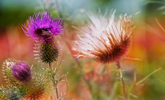 a milk thistle (augustynbatko) Tags: thistle flower bumblebee insect macro meadow summer