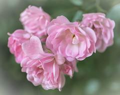Romantik (Fay2603) Tags: pink light plant flower green rose licht blossom outdoor hell pflanze rosa buds grn blume blte pastell hellgrn rose heiter zartgrn bltenblttchen