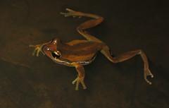 Southern Tree Frog (Litoria ewingi) (Heleioporus) Tags: tree south australia frog hills southern adelaide litoria ewingi
