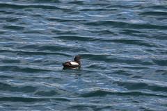 Black Guillemot (jpotto) Tags: uk isleofman peel peelharbour birds blackguillemot guillemot bird