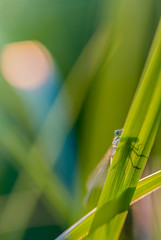 Blue reflection (Adrien-C) Tags: dragonfly macro macrophoto macrophotography macrophotographie libellule bokeh lights blue grass green insect insects insecte sun closeup